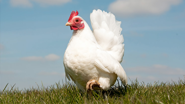Avian Flu Prevention Zone ends in Scotland and Wales