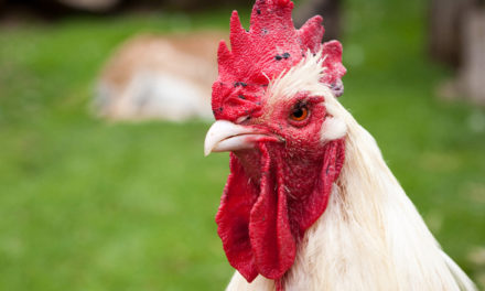 Bird flu identified in Suffolk