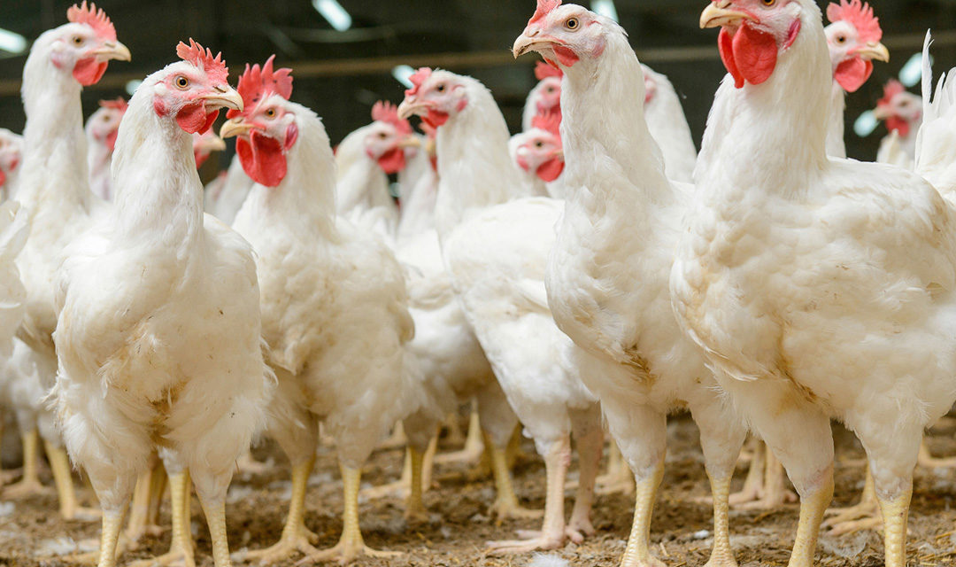 Introduction to Marketing Standards for Free-Range and Organic Poultry Meat