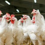 Avian Influenza national prevention zone declared