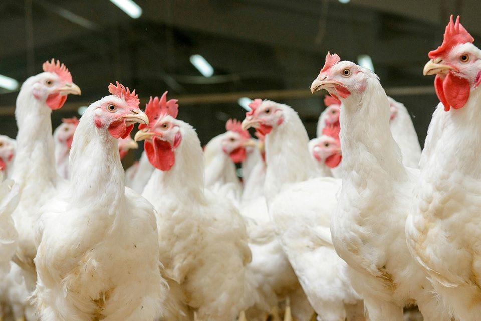 Avian Influenza confirmed at UK farms