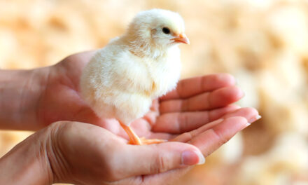 Ensuring Britain remains a global hub of poultry breeding stock
